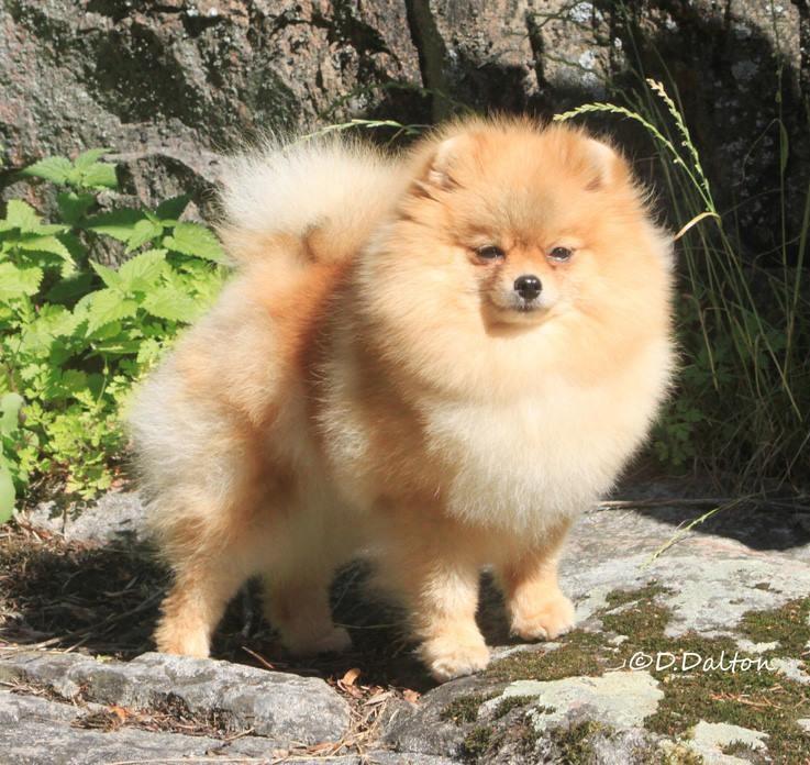 Vanhan Koiran Ripuli